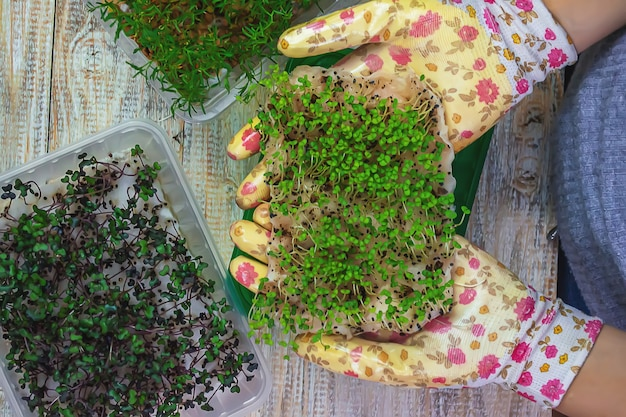 手にマイクログリーンの芽