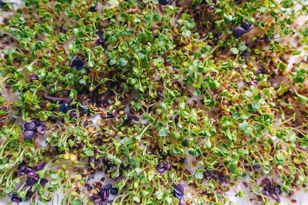 Ростки микрозелени рукколы и крупным планом редиса. сырые ростки.