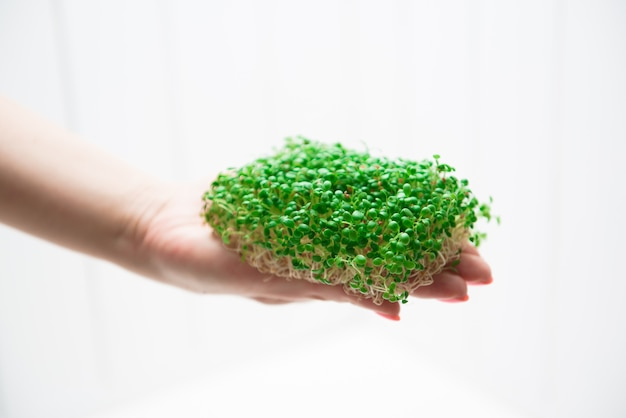 Microgreens of alfalfa in the hands of a woman on a white background.