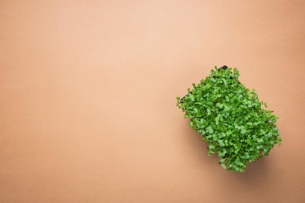 Ростки microgreens свежие кресса в горшке воды на предпосылке брайна.