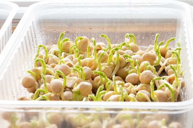 Microgreens. growing sprouted peas close up view.