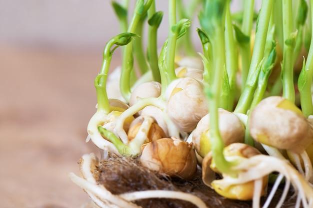 Microgreens. выращивание проросших горохов крупным планом зрения.