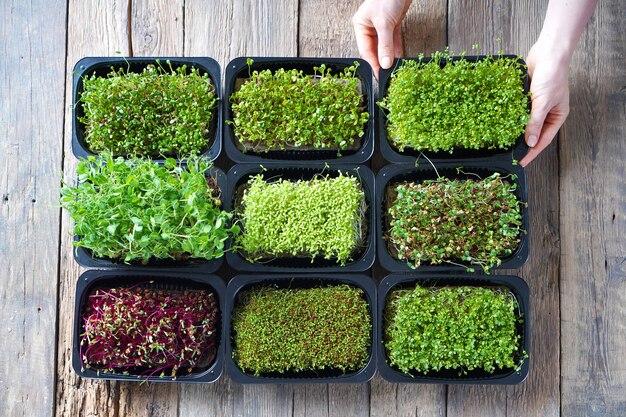 나무 테이블에 microgreen 콩나물과 함께 성장하는 microgreens.