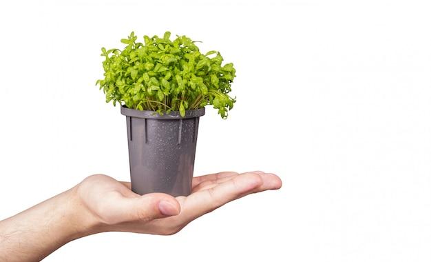 Микрозелень в руке на белом фоне