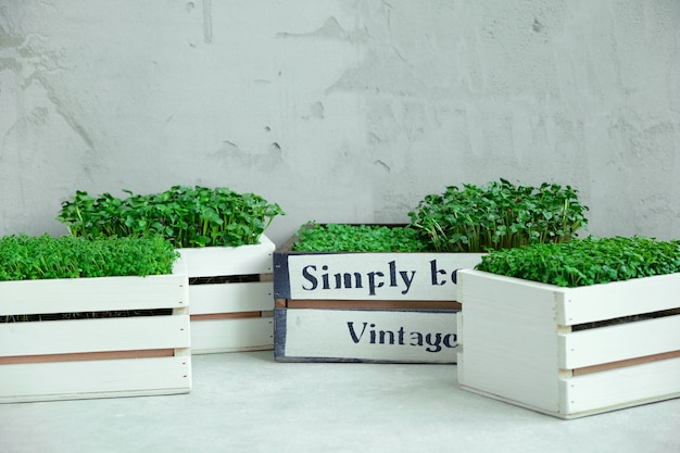 Микрозелень в белых деревянных ящиках.