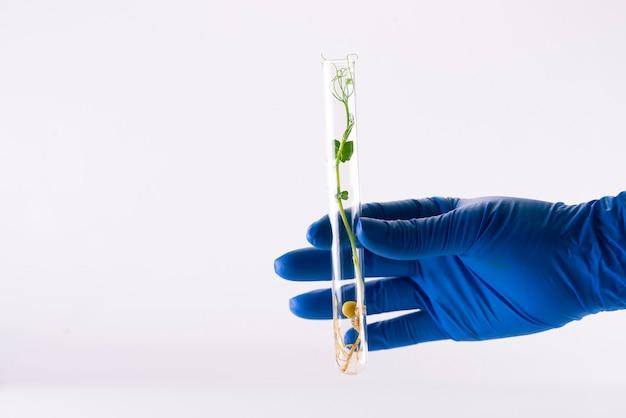 Микрозелень зеленого горошка в стеклянной химической пробирке на светлой поверхности