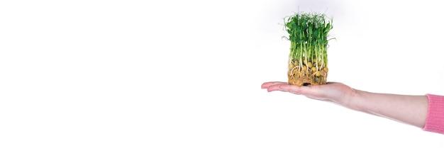 여성 손바닥, 흰색 표면, 텍스트 장소에서 성장하기위한 기질에 완두콩의 Microgreens 프리미엄 사진