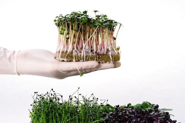 장갑을 낀 손에 성장하는 기질에 있는 무의 마이크로그린. 다양한 품종의 마이크로그린. 흰색 배경에 분리된 무, 해바라기, 완두콩, 양파, 바질의 마이크로그린.