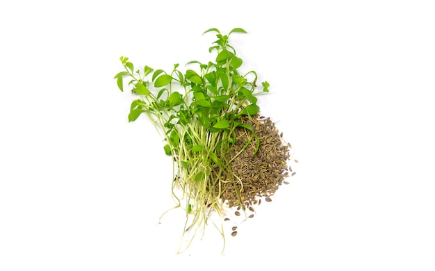 Microgreens 파슬리는 흰색 바탕에 격리합니다. 선택적 초점. 음식.