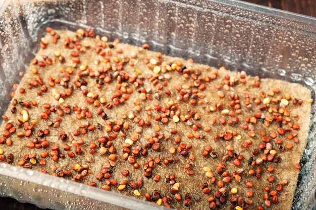 Microgreens prepared for germination. seeds in container sown on wet linen mat.