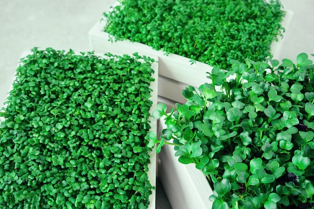 Microgreens in white wooden boxes. concept of home gardening and growing greenery indoors