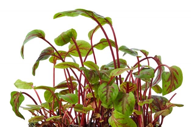 Свежие ростки щавеля изолированные на белизне. microgreens.