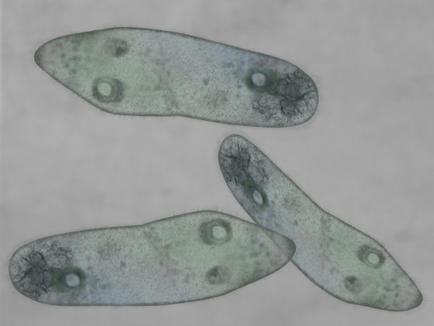 Microscopic view of a paramecium