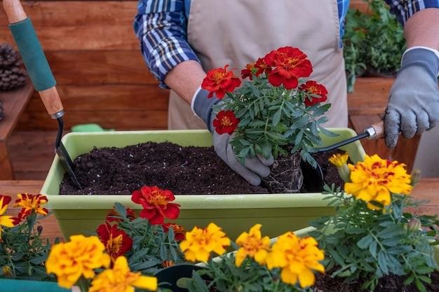夏の日にガーデニングと顕花植物を移植する年配の女性の中央部-ホームガーデンのコンセプト