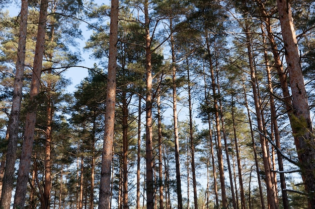 森に生えている松の幹の真ん中、クローズアップ