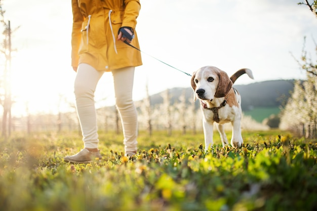 Midsection of senior woman with a pet dog on a walk in spring orchard nature.