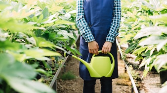 Midsection view of a gardener holding watering can with fresh plants growing in greenhouse
