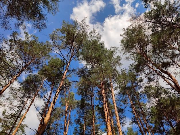 松の木の力強く高い枝が白い雲のある空に伸びています