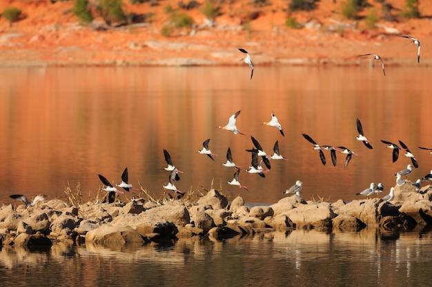 Migrating avocets at gunlock state park utah