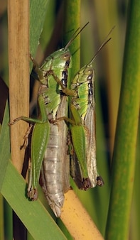 Перелетной саранчи acrididae спаривания кузнечиков