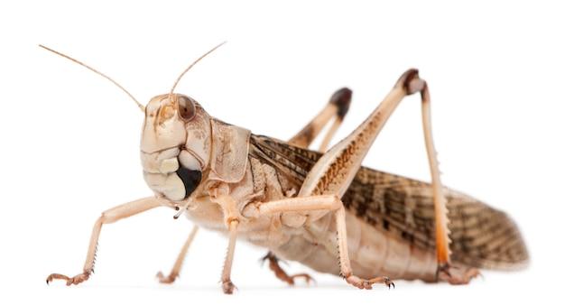 Миграционная саранча locusta migratoria на белом фоне