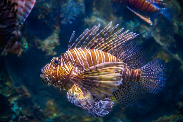Miles lionfish swimming in coral under the sea