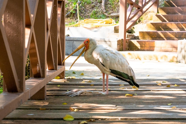 A milk stork sits on the ground with an open beak. hot day
