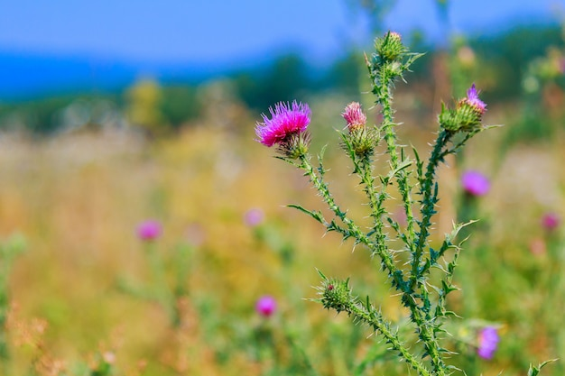 Milk thistle, silybum, marianum