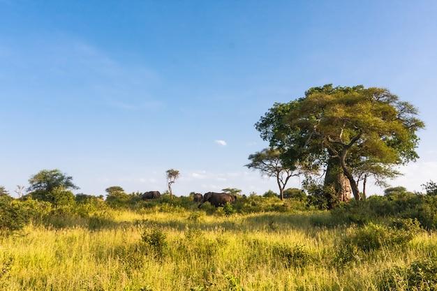 ミレニアルバオバブと象の群れ。タランギーレ、アフリカ