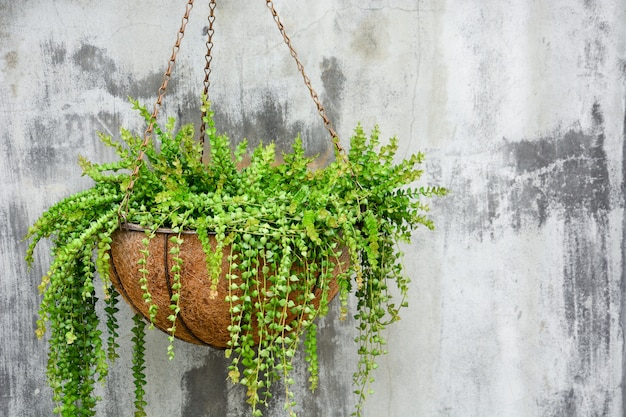Million heart plant in coconut fiber husk pot hanging on cement wall background, copy space