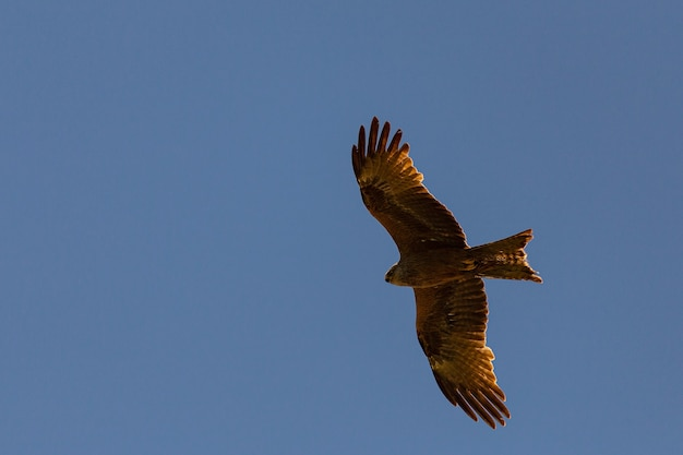 Milvus migrans, a black kite flying under a blue sky