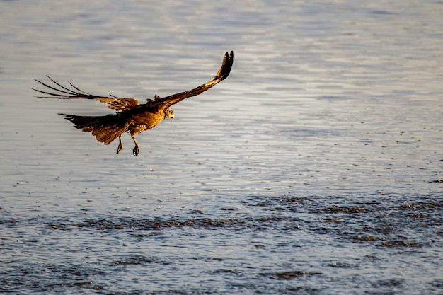 国立公園のトビ(milvus migrans)