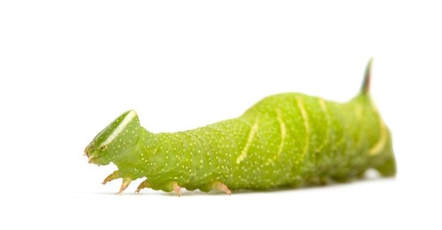 Лайм ястреб-мотылек гусеницы - тимьяны mimas на белом изолированные