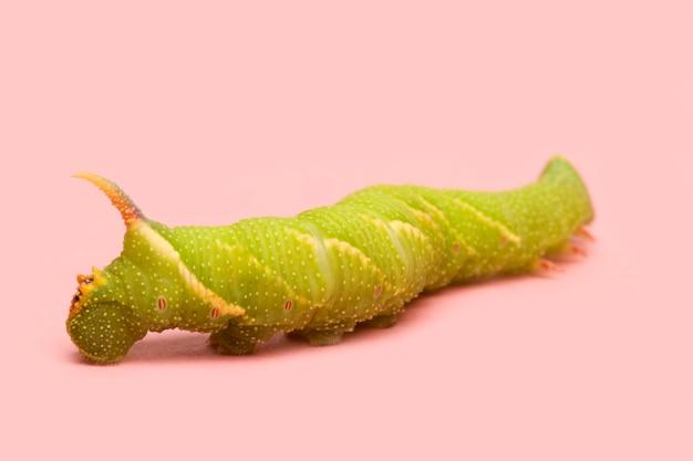 Гусеница лайма ястреба-мотылька - тильма mimas перед розовой поверхностью