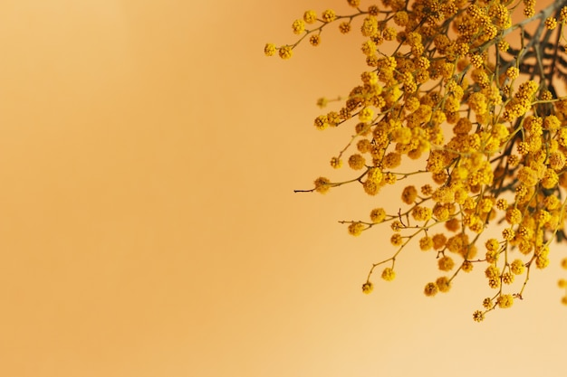 Mimosa branch on orange background with copy space
