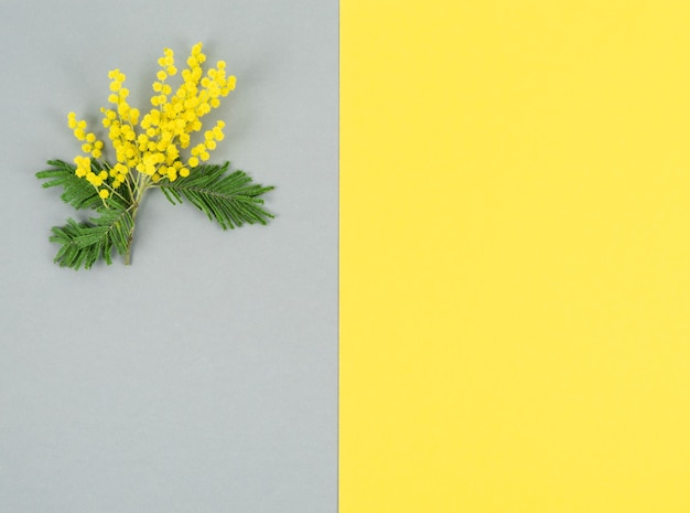 Mimosa branch with yellow flowers and leaves on yellow and gray background. color of the year. copy space.