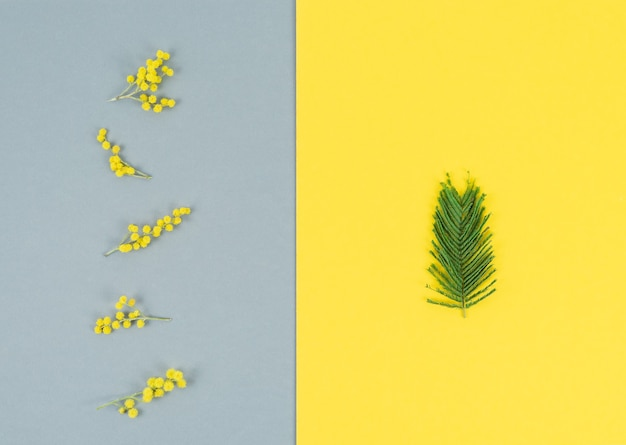 Mimosa flowers and leaves on gray and yellow background vertically. color of the year. copy space.