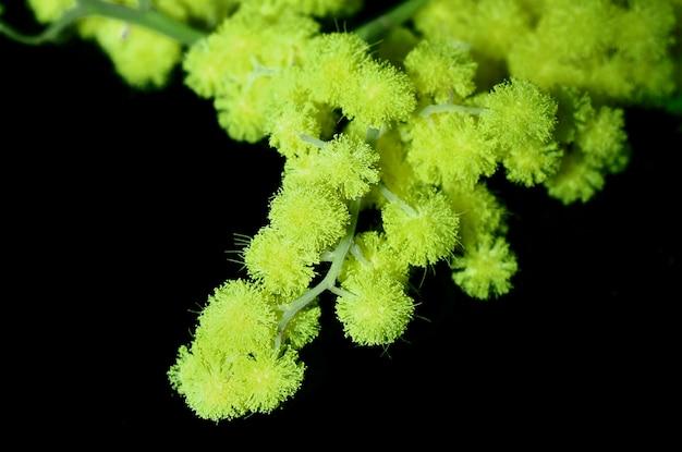 Mimosa green