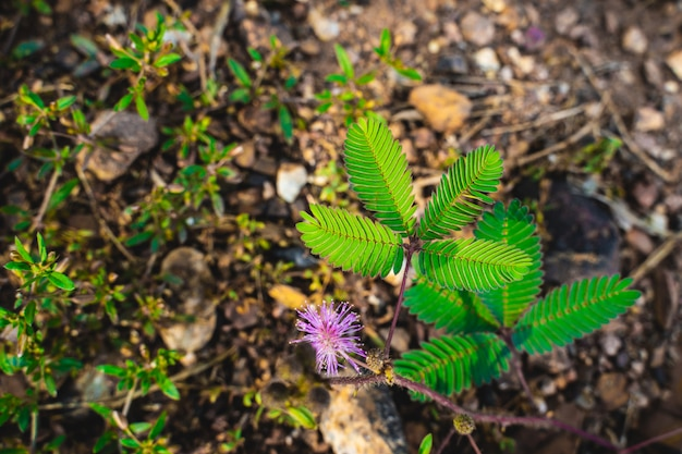 Mimosa leaves on the ground
