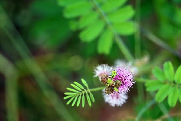 ミモザプディカまたは敏感な植物紫の花束の花が咲く