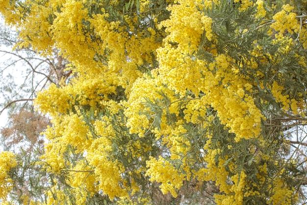 黄色い花を持つミモザの木の枝