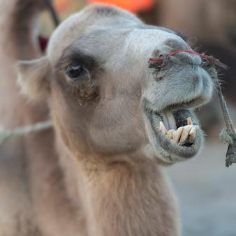 Крупный план верблюда в mingsha shan, дуньхуан, цзюцюань, провинция ганьсу, китай