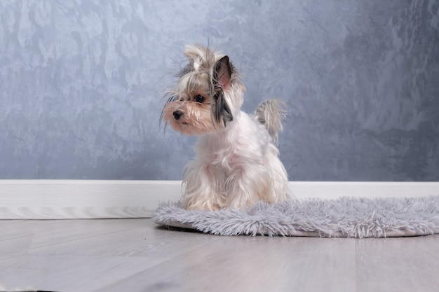 Mini beaver yorkshire terrier stands on all fours on the carpet.