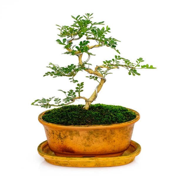 Mini bonsai in the pot tree on white