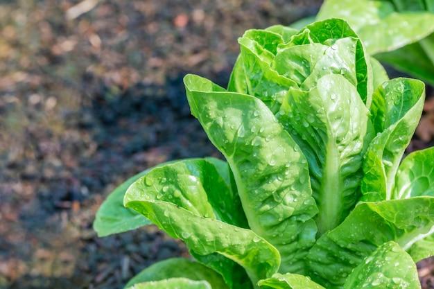Mini green cos salad vegetable grow in plot