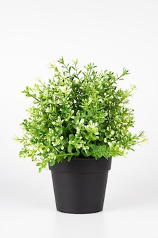 Mini jasmine tree