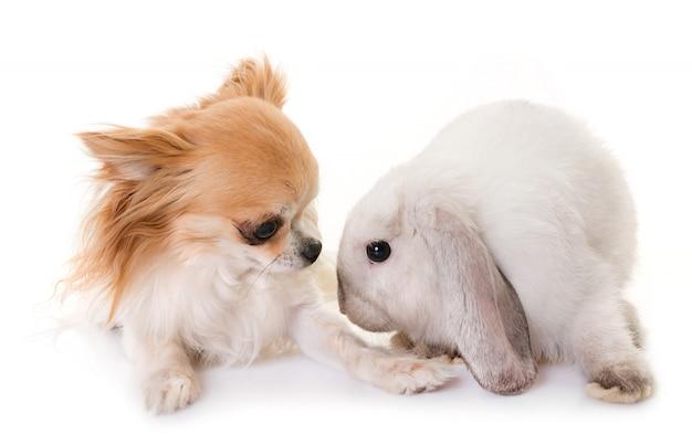 Mini lop and chihuahua