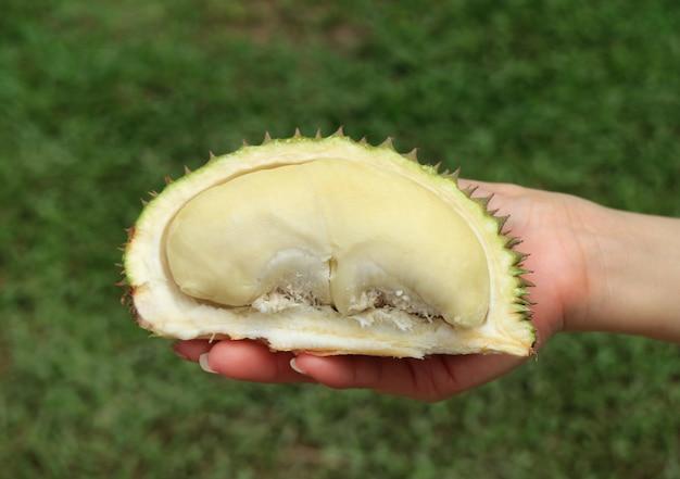 Mini size pastel yellow color ripe durian fruit, thailand