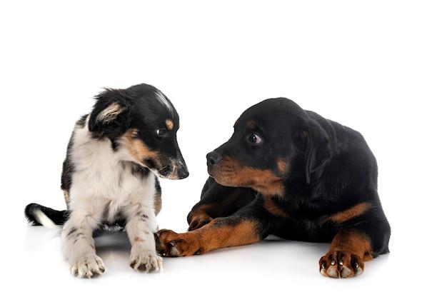 Миниатюрная американская овчарка и щенок ротвейлера на белом фоне