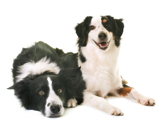 Miniature american shepherd and border collie